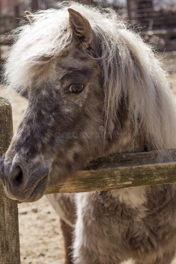 серый пони стоковое изображение