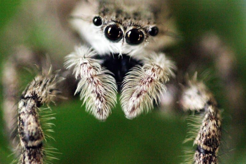Серый скача конец-вверх паука стоковое изображение rf