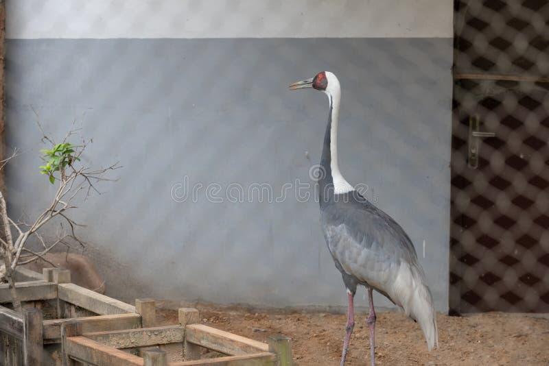 Серый Цапля-Ardea cinerea стоковая фотография rf