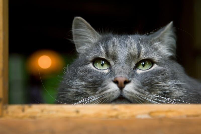 серый цвет большого кота пушистый стоковое фото