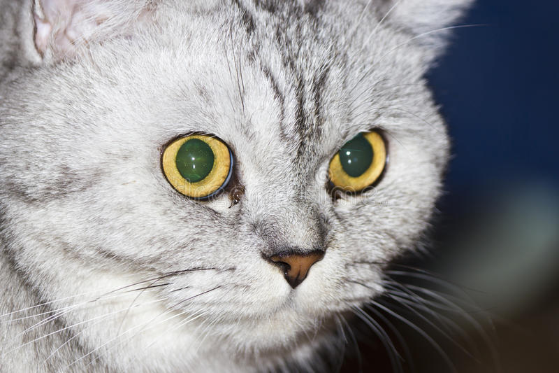 серый цвет большого кота стоковые фотографии rf