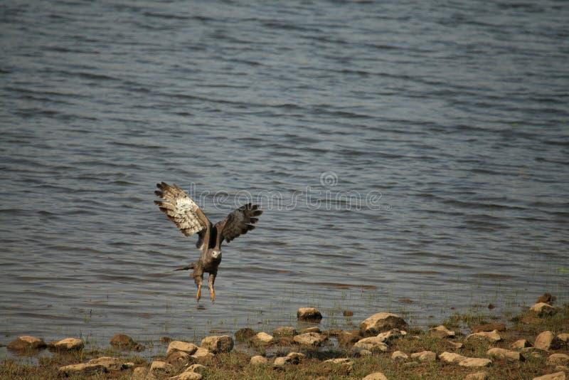 Серый цвет возглавил орла рыб, ichthyaetus Haliaeetus, национального парка Tadoba, Chandrapur, махарастры, Индии стоковое фото rf