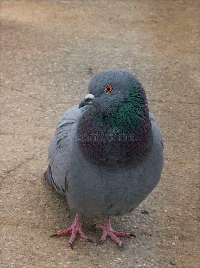 Серый цвет голубя стоковая фотография rf