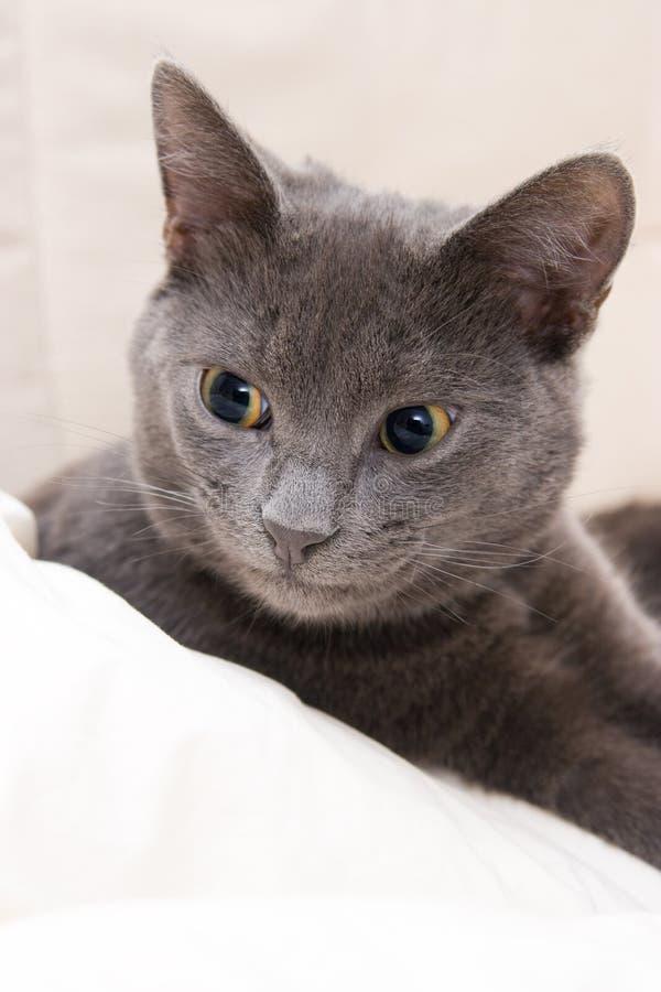 серый цвет кота милый смешной стоковые изображения rf