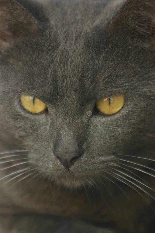 серый цвет кота стоковая фотография rf