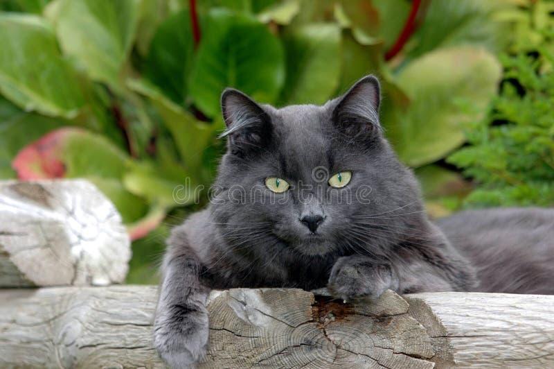 серый цвет кота lounging стоковые изображения