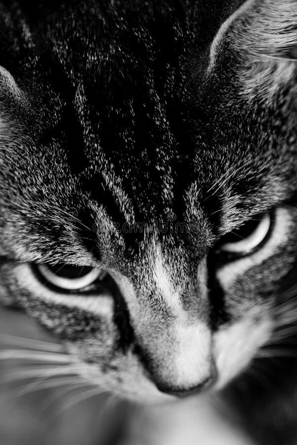 серый цвет кота striped стоковые фотографии rf