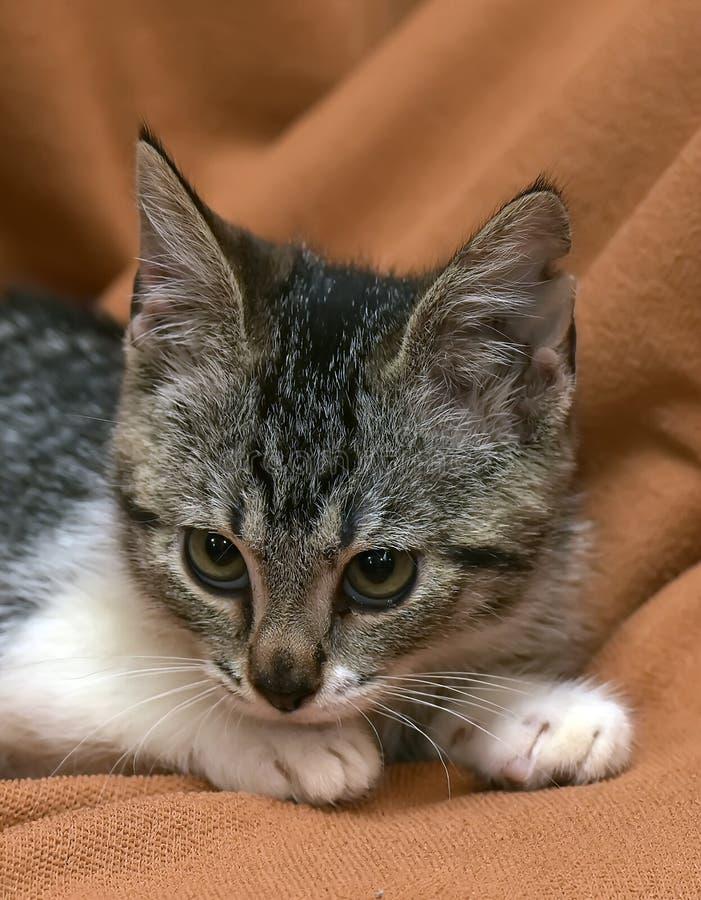 Серый цвет с белыми striped лож котенка стоковые изображения