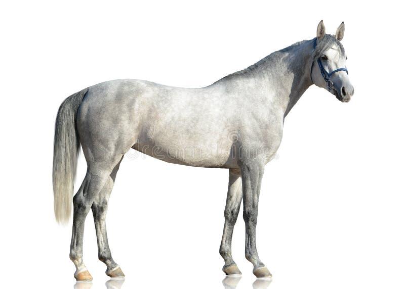 Серый чистоплеменный аравийский stading лошади изолированный на белой предпосылке стоковые изображения rf