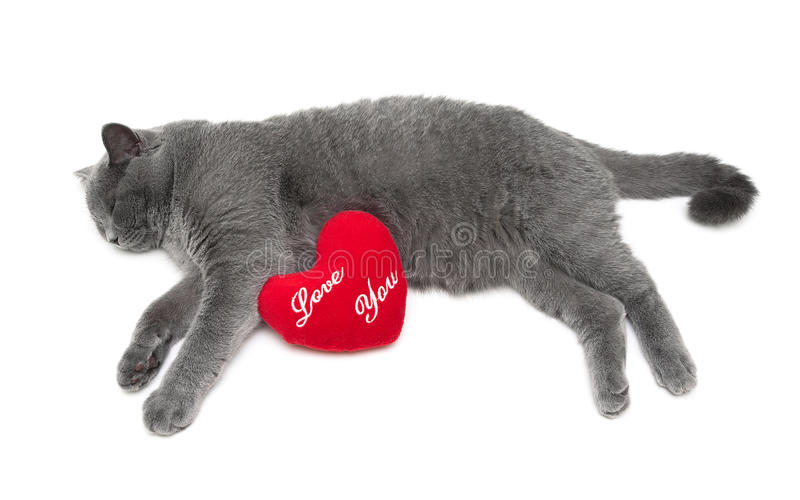 Серый шотландский кот лежит на белой предпосылке стоковое изображение