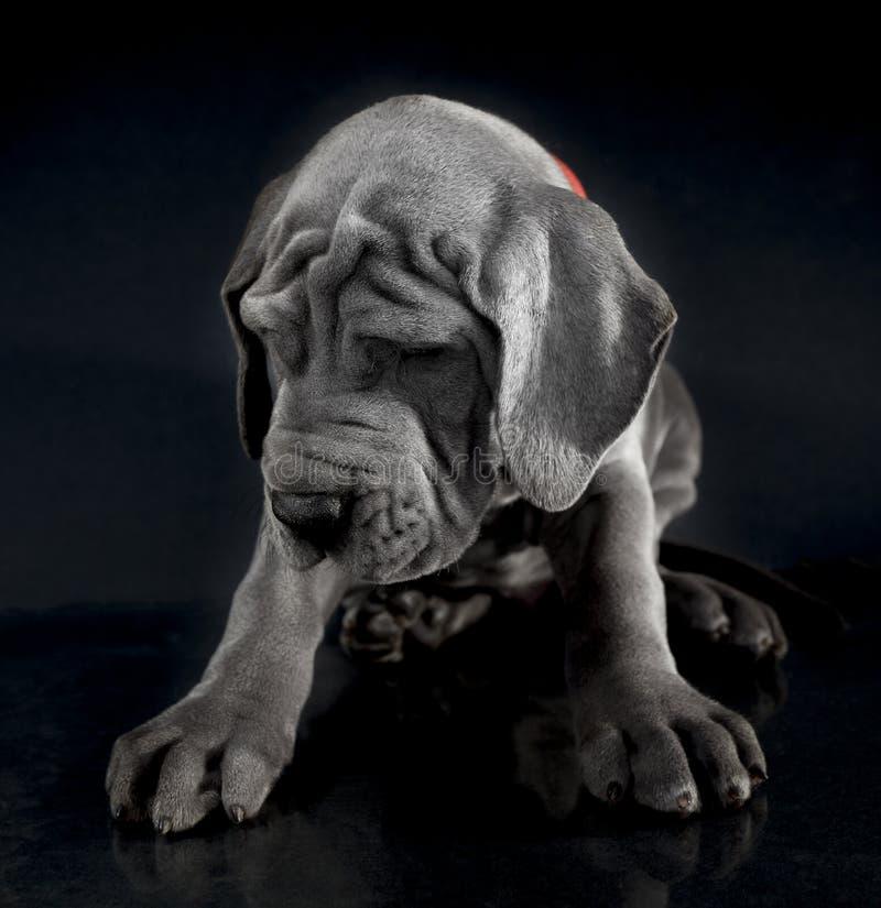 Серый щенок большого датчанина стоковая фотография