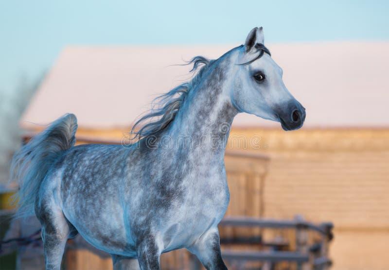 Серый элегантный жеребец чистоплеменной аравийской породы стоковое фото
