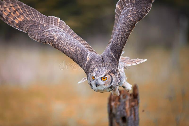 серый horned сыч стоковое фото