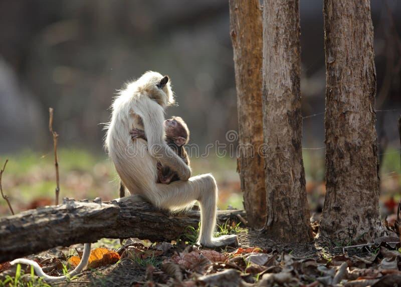 Серый Langur любя ее младенца стоковое фото rf