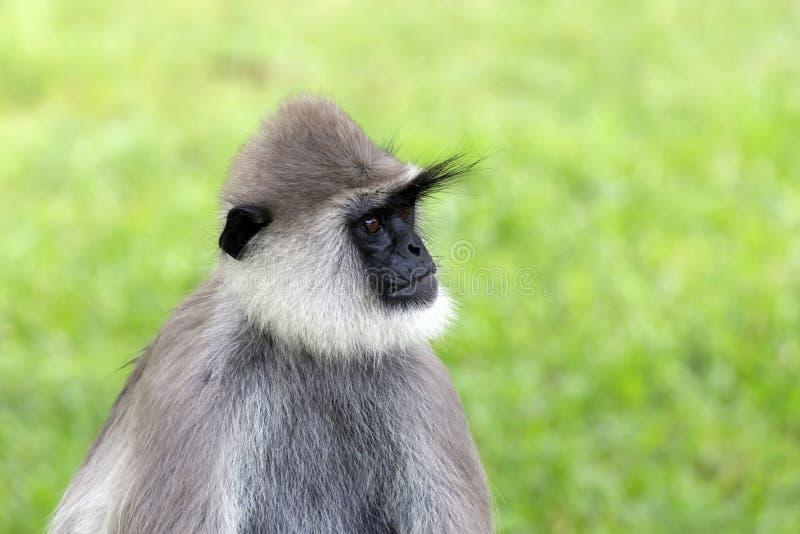 Серый Langur стоковое фото rf