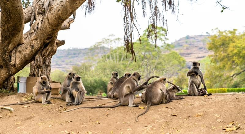 Серый langur monkeys на пещерах Ellora в Индии стоковая фотография