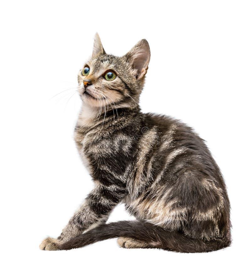 Серый striped кот изолированный на белой предпосылке стоковая фотография