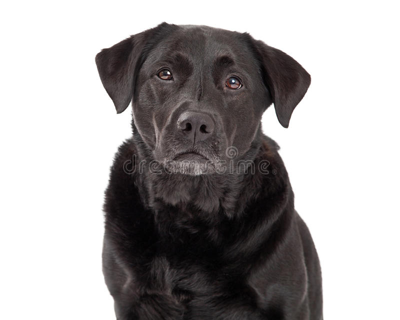 Серьезная собака Retriever Лабрадора стоковые фото