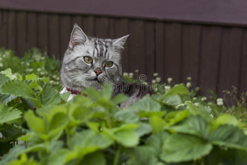 Серьезный серый кот великобританских или шотландских пород породы сидит стоковое фото rf