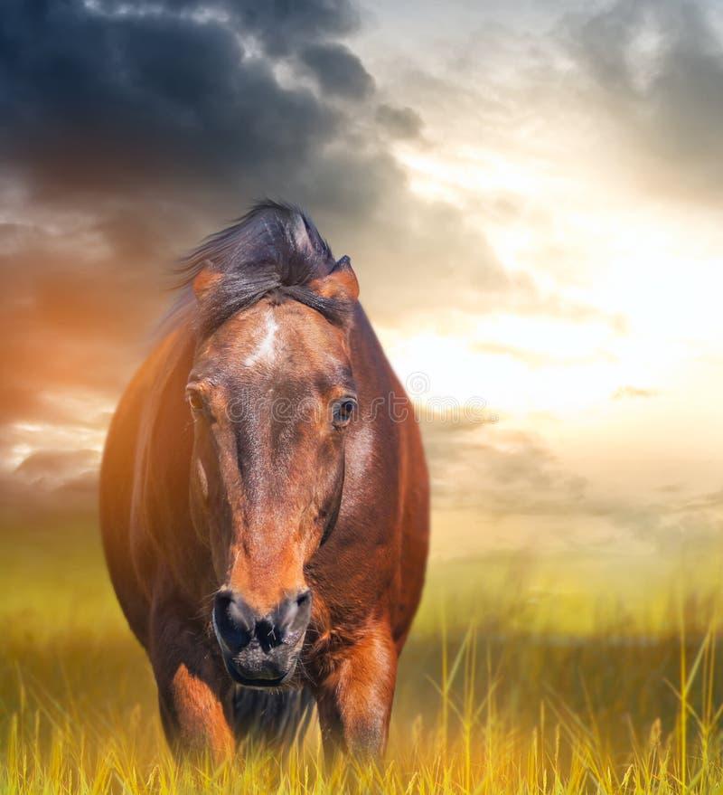 Сердитая лошадь с ушами клала назад в поле стоковое изображение rf
