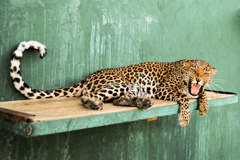 Сердитое Leopardess стоковое фото
