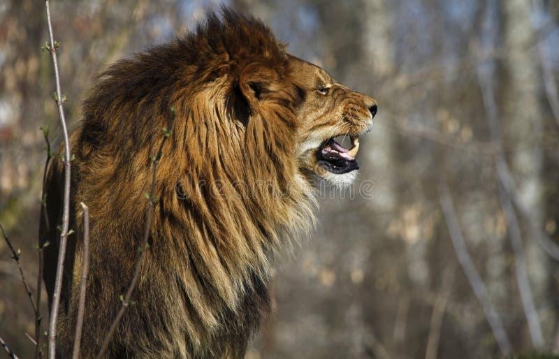 Сердитые вдохи 2 льва стоковое изображение rf