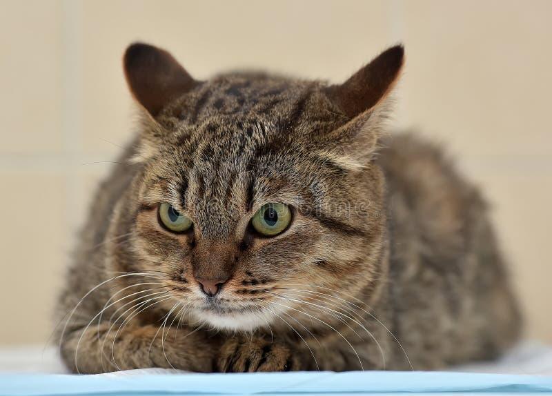 Сердитый лежать кота tabby стоковые изображения