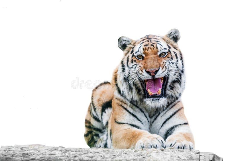 Сердитый тигр рычать стоковые изображения