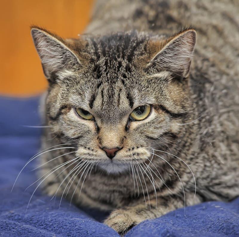 сердитый tabby кота стоковые изображения rf