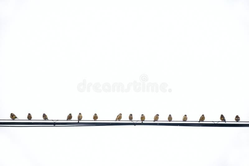 Сер-покрынное Greenfinch стоковые фото
