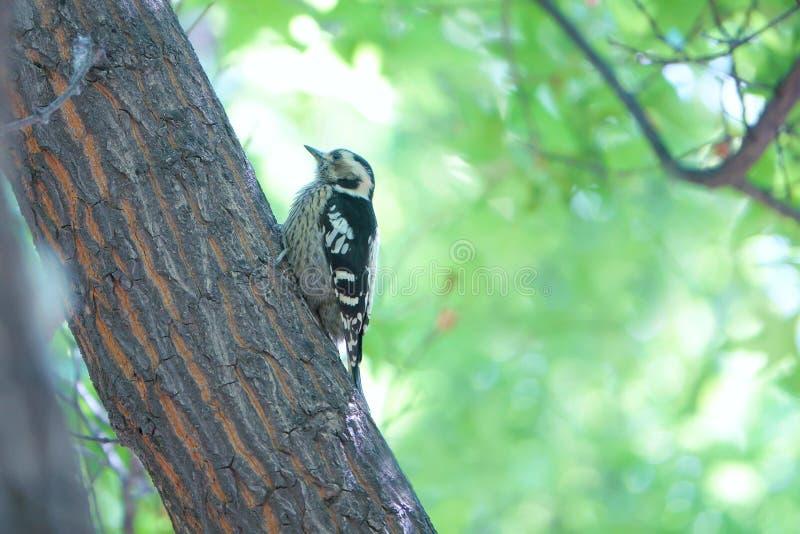 Сер-покрытый Woodpecker пигмея стоковые фото