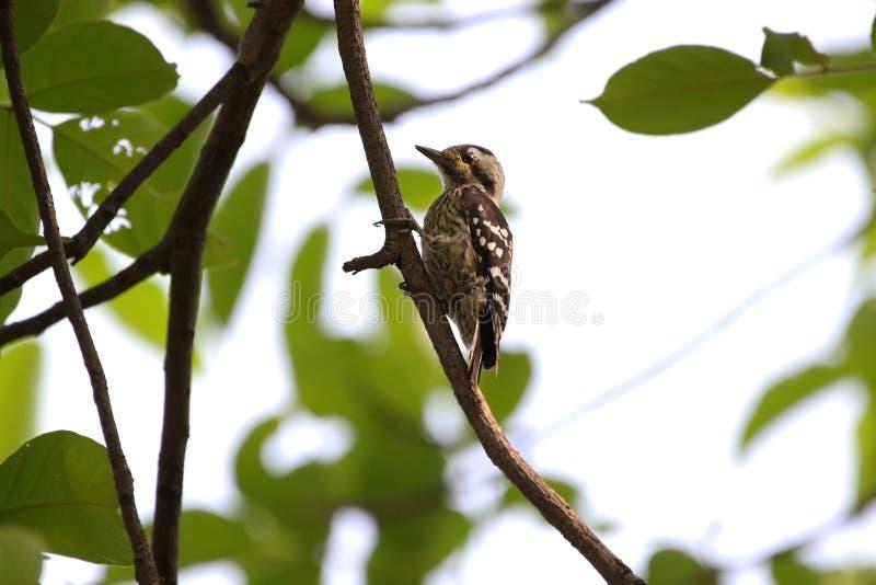 Сер-покрытый Woodpecker пигмея стоковое изображение