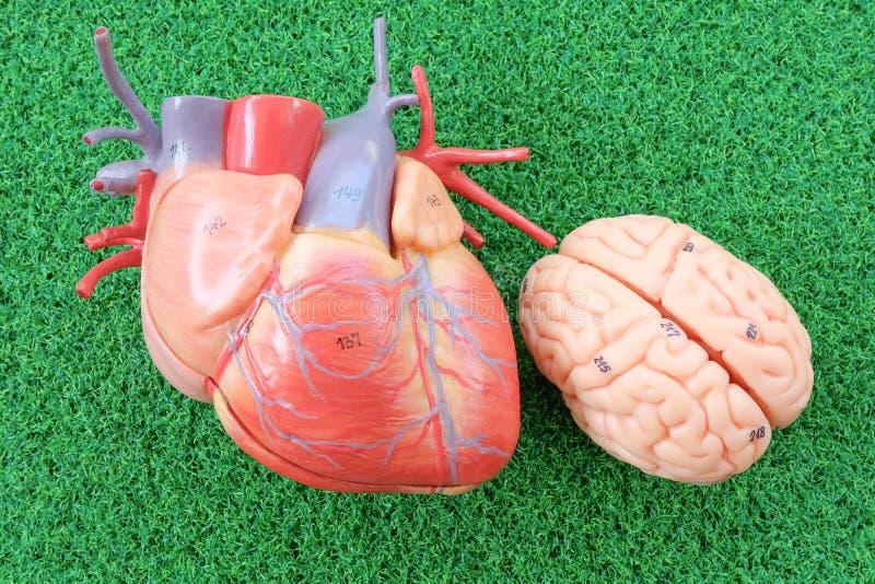 Сердце и мозг стоковая фотография