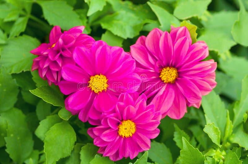 Сердце красивых фиолетовых цветков в природе стоковые изображения