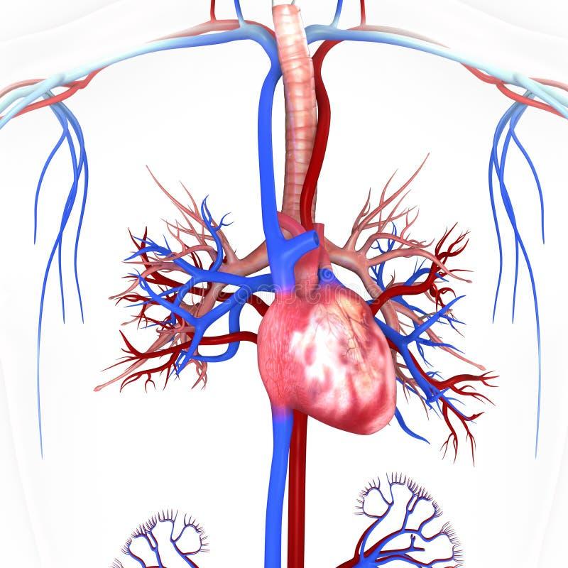 Сердце с венами и артериями иллюстрация вектора