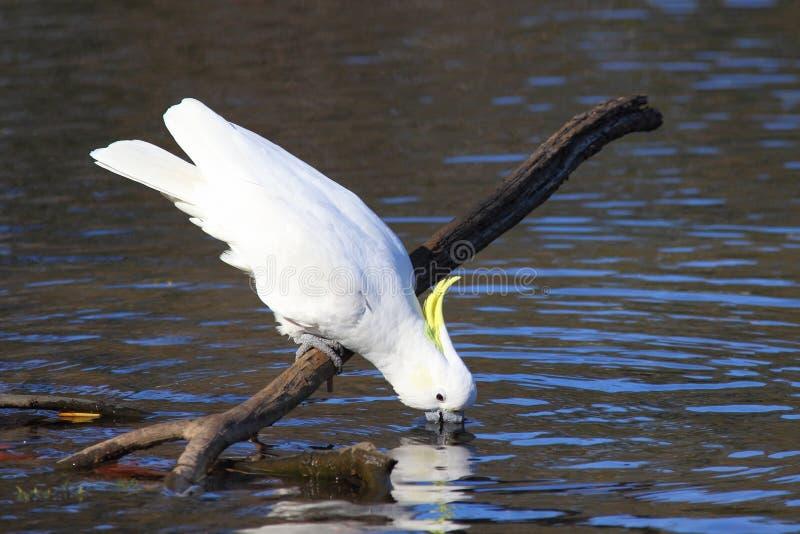 Сер-crested выпивать Cockatoo Стоковые Фото