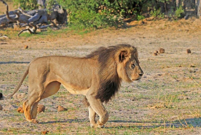 Сесиль лев Hwange стоковое фото