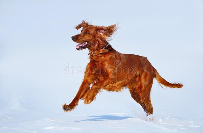 Сеттер охотничьей собаки ирландский красный на прогулке зимы стоковое изображение rf