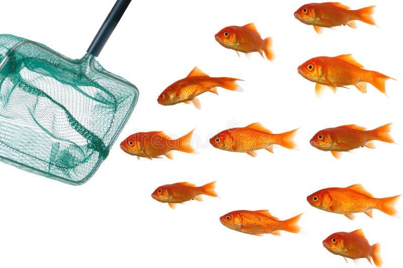 сеть золота рыб