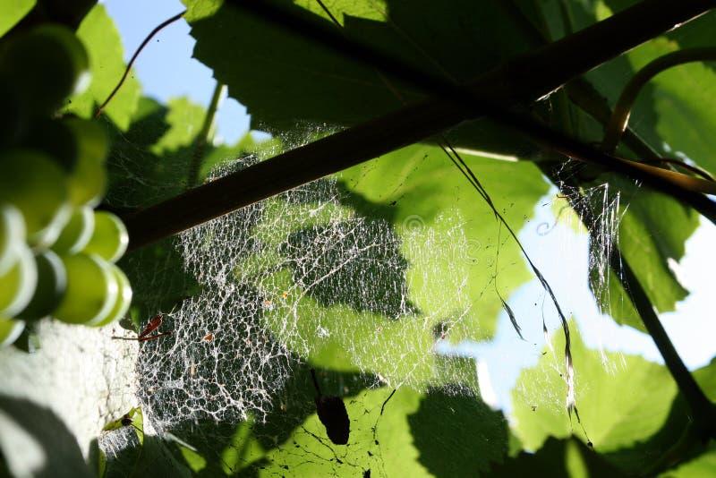 Сеть паука в винограднике - деталь стоковые фотографии rf