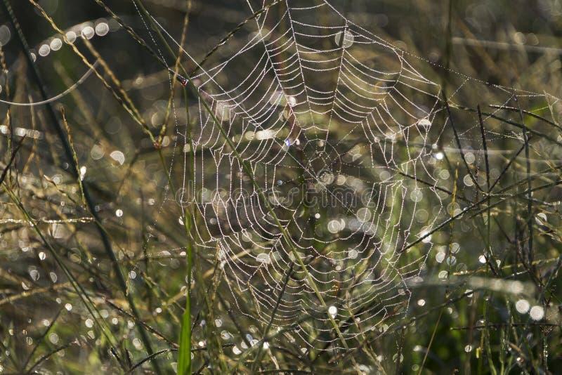 Сеть паука в высокорослой траве с росой и bokeh стоковое изображение rf