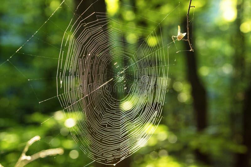 Сеть паука между ветвями деревьев на фоне зеленого леса стоковые изображения rf
