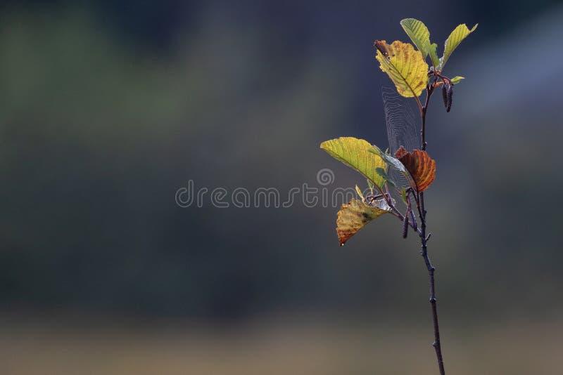 Сеть паука на листьях осени стоковая фотография