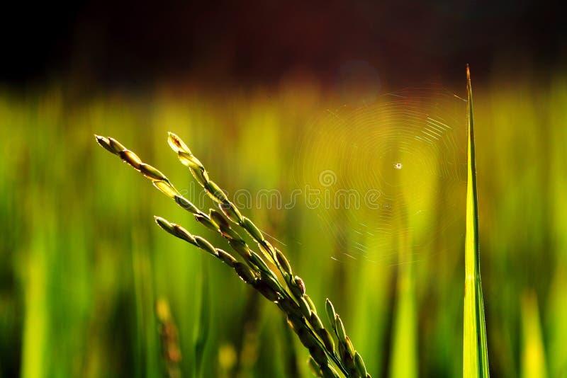 сеть паука риса завода стоковое изображение rf