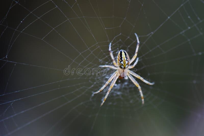 Сеть паука с росой стоковые изображения