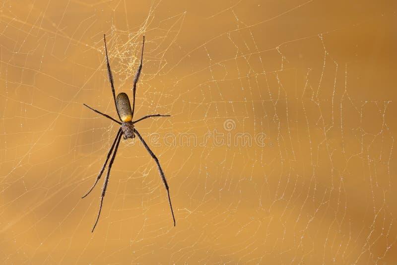 сеть паука шара крупного плана золотистая огромная стоковое фото rf