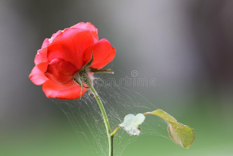 Сеть спайдера на красной розе стоковое фото