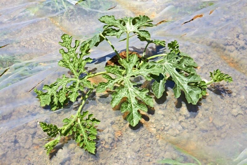 Сец арбуза в почве покрытой с пленкой стоковые фотографии rf