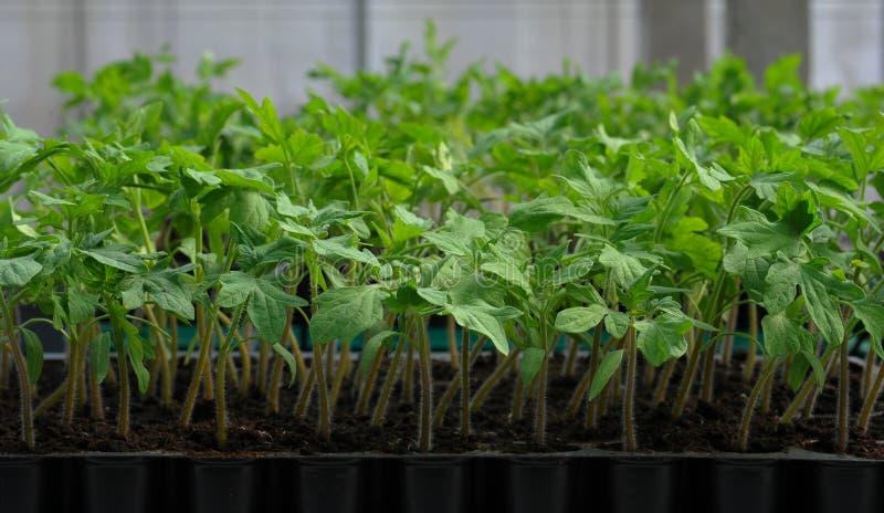 Сец томата в пластичном подносе стоковые фотографии rf