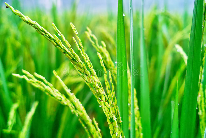 сеянцы риса стоковое фото rf